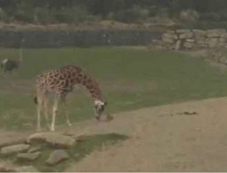VIDEO: Bunny plays hard to get with giraffe at Dublin zoo