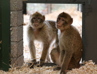 Monkey business at Belfast Zoo - as two escape