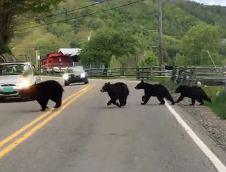 WATCH: Bear family of five dash across road in the US