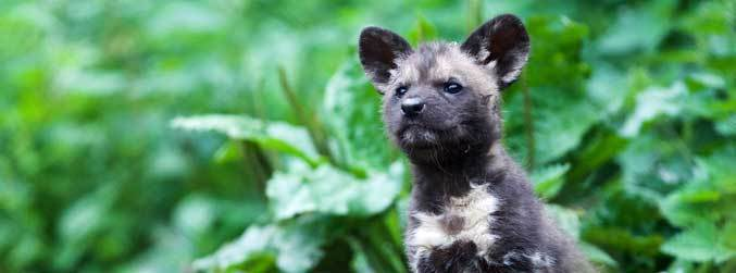 Seven African painted dogs are born at Dublin Zoo