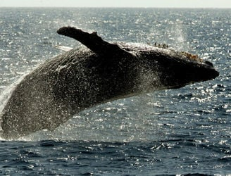 Hundreds of humpback whales are saving other marine life