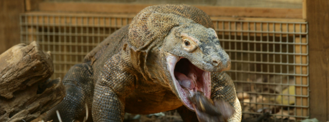 BBC cameraman walks in on komodo dragon in his toilet