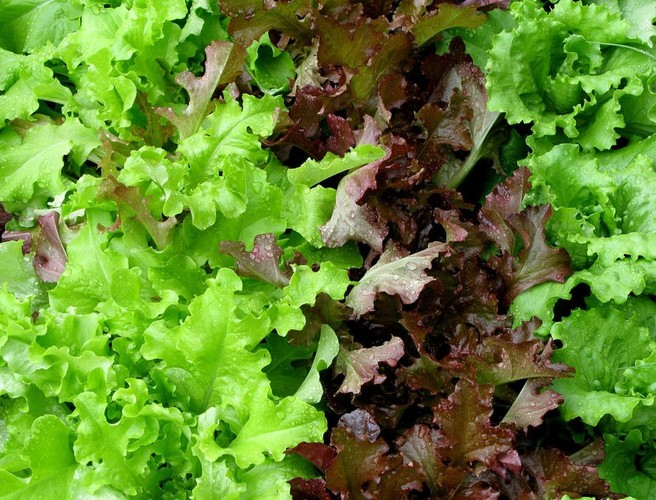 Bagged salad is a Salmonella risk, study finds