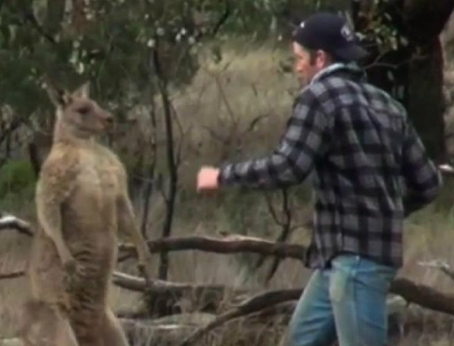 """No suggestion"" man who punched kangaroo will lose his job"