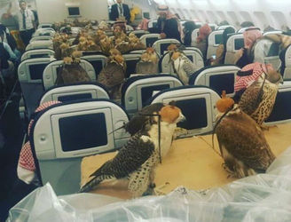Nothing to see here but a load of falcons on a plane