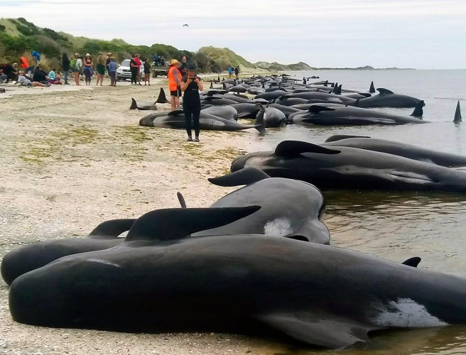 Volunteers form human chain to save whales in New Zealand