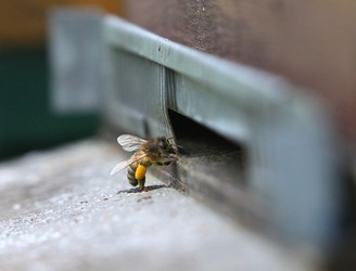 New Zealand's black market for honey bees
