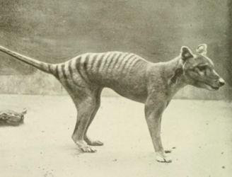 Extinct for 80 years, Australia's Tasmanian tiger might have surfaced