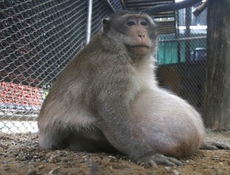 Uncle Fat, an obese Thai monkey, heads to rehab