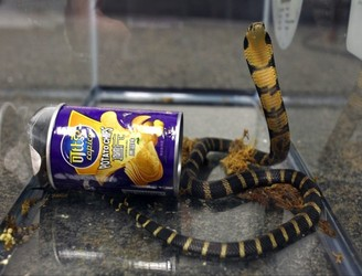 Man arrested after deadly king cobras found in crisp cans