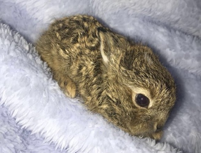 Baby hare recovering after storm rescue
