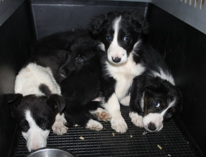27 trafficked puppies seized in Dumfries and Galloway