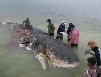 Sperm whale found dead in Indonesia with 6kg of plastic in its stomach