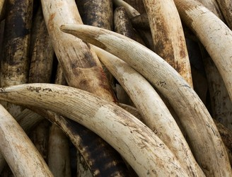 Kenya to light world's biggest ivory bonfire