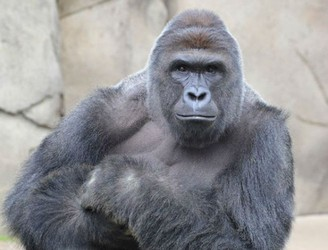 Endangered gorilla shot dead after dragging boy (3) around US zoo enclosure