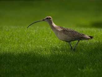 Save the curlew! Taskforce set up to protect birds